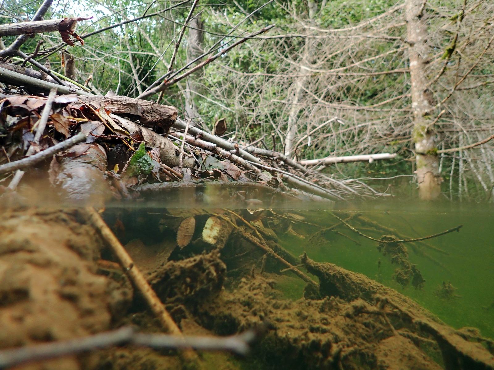 Bæver dæmning med træstammer ved flod