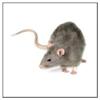Sådan bekæmper du rotter