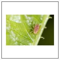 Bladlus, frugt-  & insektfælder