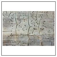 Træødelæggende