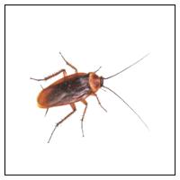 Bekæmp selv Kakerlakker