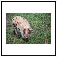Svin / Fjerkræ og Kvæg