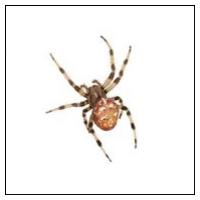 Edderkop / Insektfælde