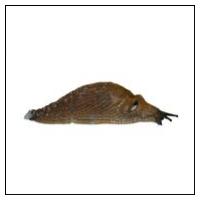 Dræbersnegle