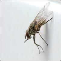 Staldflue, stikfluen