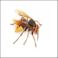 Bekæmp selv Hvepse
