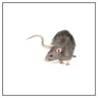 Skræmmer mod rotter