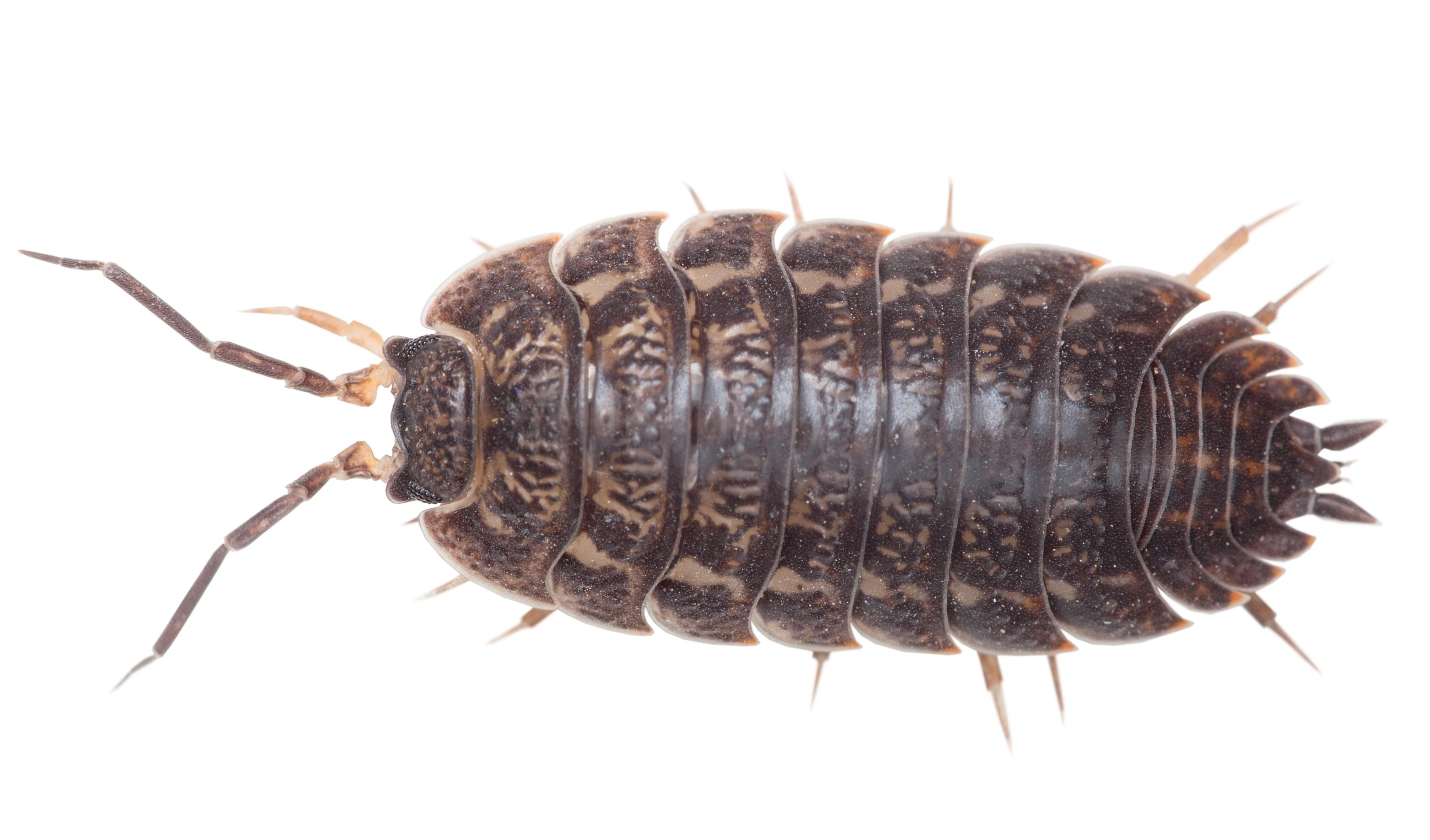 Bænkebider (Oniscidea)