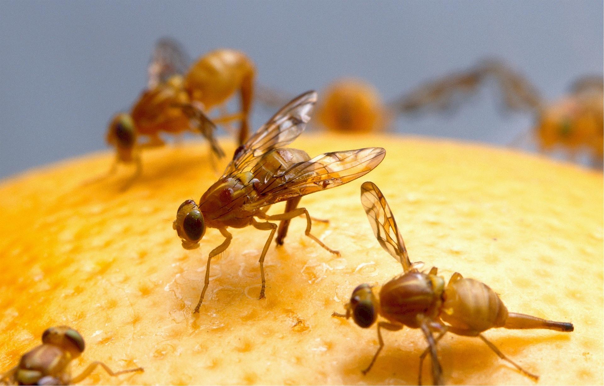 Nærbillede-af-bananfluer