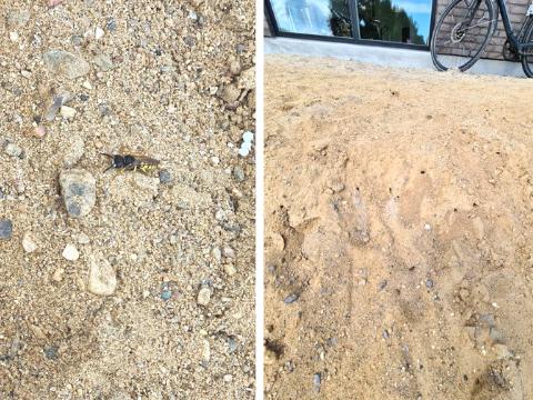 Biulv (gravehveps) i sand, huller, grus og sten foran ejendom