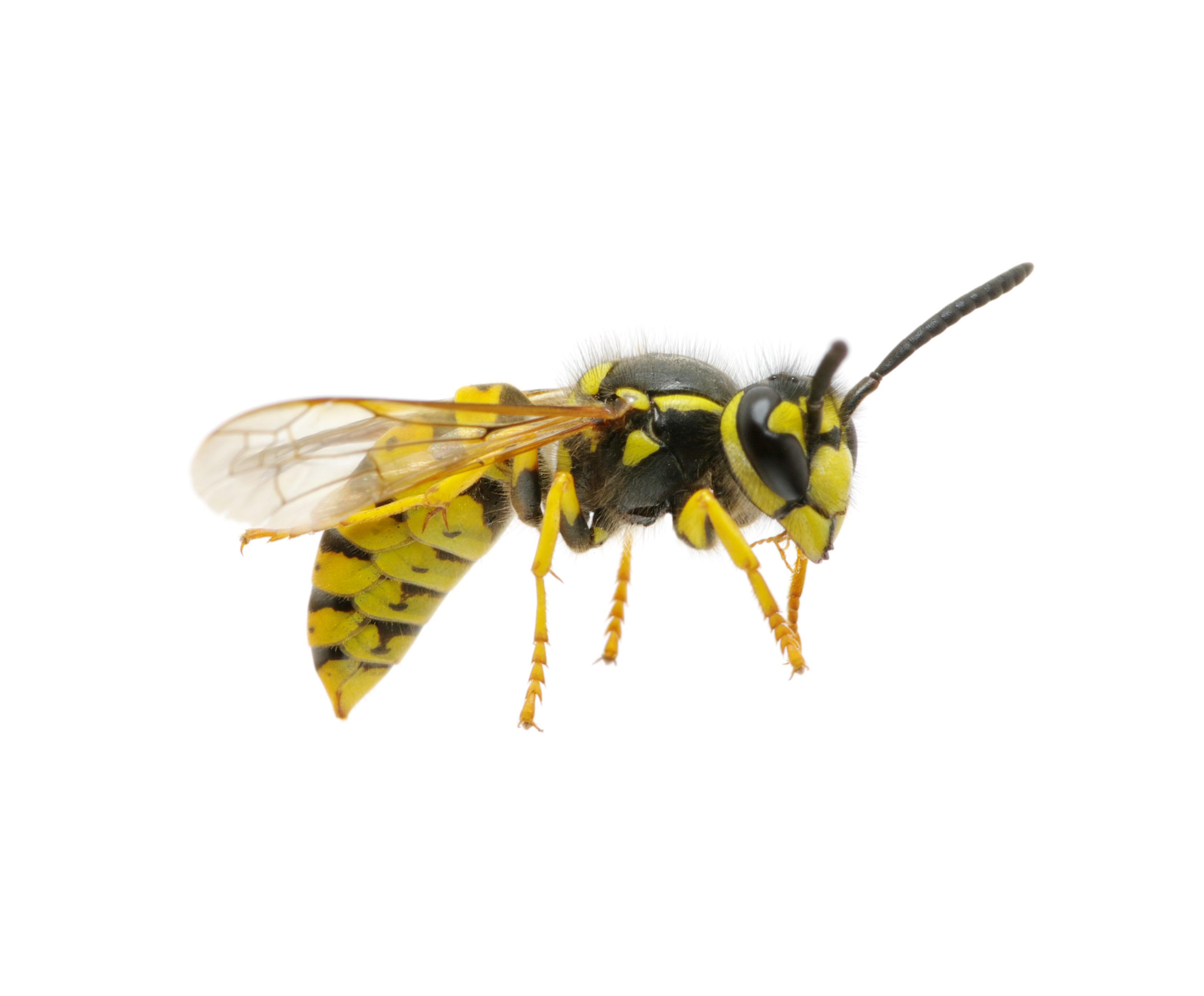 Hvepse og gedehams