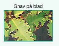Gnav på blad - øresnudebille