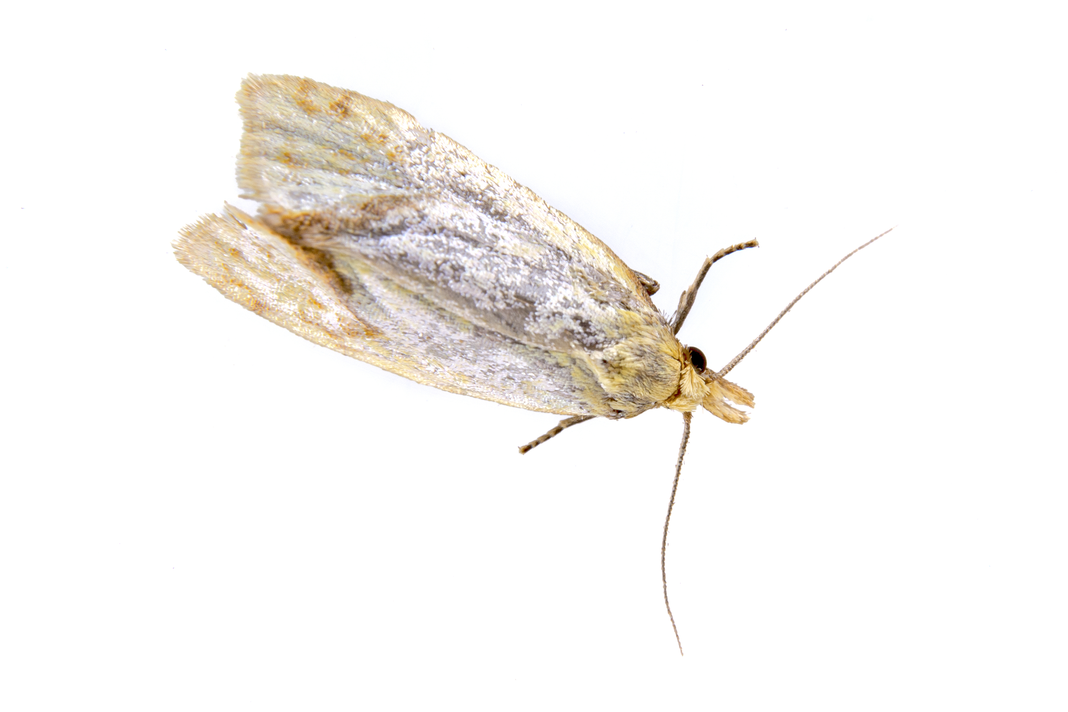 Klædemøl - Tineola bisselliella