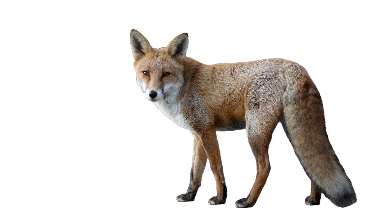 Ræv (Vulpes vulpes)
