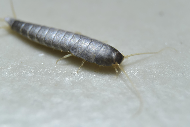 Sølvfisk (Lepisma saccharina)